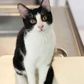 生後半年!かわいいハチワレの黒白猫さん