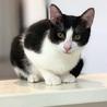 生後半年!かわいいハチワレの黒白猫さん サムネイル2