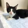 生後半年!かわいいハチワレの黒白猫さん サムネイル3