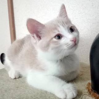 クリーム&ホワイトの美猫ミルキーです。生後3か月!