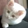 クリーム&ホワイトの美猫ミルキーです。生後3か月! サムネイル2