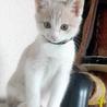 クリーム&ホワイトの美猫ミルキーです。生後3か月! サムネイル3