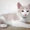 クリーム&ホワイトの美猫ミルキーです。生後3か月! サムネイル4