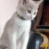 クリーム&ホワイトの美猫ミルキーです。生後3か月! サムネイル5