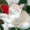 クリーム&ホワイトの美猫ミルキーです。生後3か月! サムネイル6