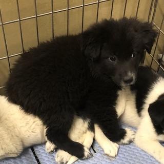 生後2か月 大型犬予想仔犬