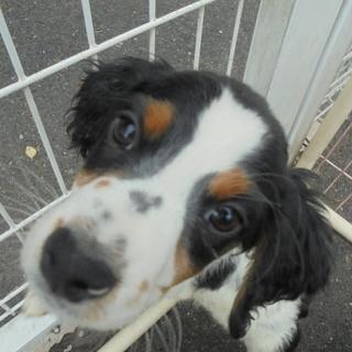 ブリタニー 子犬