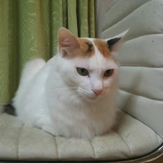 優雅な半長毛、おとなしい白三毛アンちゃん