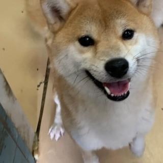 赤柴犬 1歳半 メス