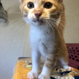 可愛い茶白のオスの子猫