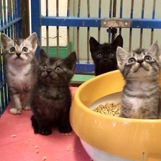 生後1ヶ月半程度2匹の黒系子猫ちゃん