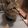キジ猫5か月ぐらい。 サムネイル2