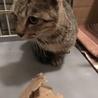 キジ猫5か月ぐらい。 サムネイル3