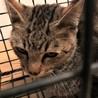 キジ猫5か月ぐらい。 サムネイル4