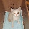 ベージュ色の子猫