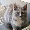 急募!|生後3〜4ヶ月のもふもふで人懐っこい子猫