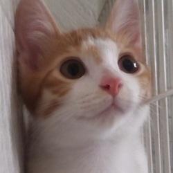日本で唯一、猫&里親様の為のお見合い会&人馴れ日本№1&臭くない(厳しい要求無し) サムネイル2