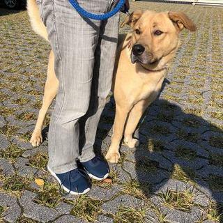 大型犬のツナ5歳の男の子 脱走防止策取れる方希望