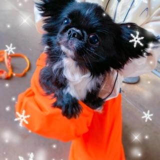 MIX犬(シーペキ)のクロミちゃん♡♡