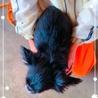 MIX犬(シーペキ)のクロミちゃん♡♡ サムネイル3