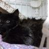 約4カ月の黒猫長毛の男の子きん君