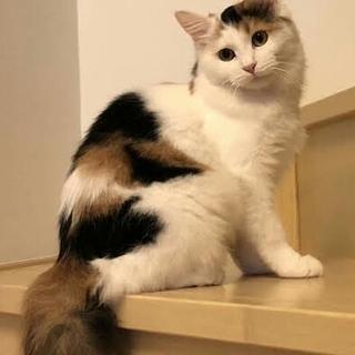 ふわふわ半長毛の三毛猫さんです