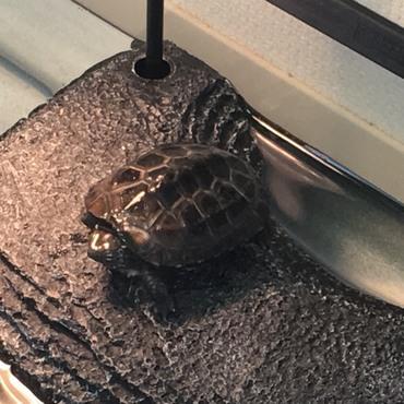 家に来て約1ヶ月(2018年2月)の亀次郎。おそらく生後2ヶ月くらいだと思う。