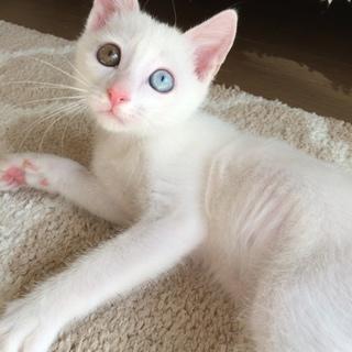 超甘えん坊でマイペース☆白猫コゲ