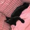 キリっとしたお顔の超甘えん坊ツヤツヤ黒猫 サムネイル3