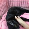 キリっとしたお顔の超甘えん坊ツヤツヤ黒猫 サムネイル4