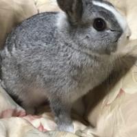 ミニウサギ×ネザー   ♀