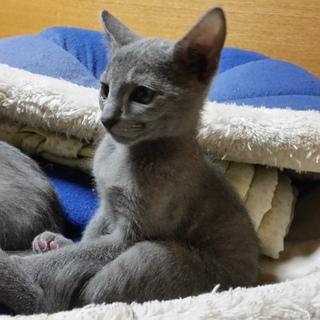 ロシアンブルー子猫 オス メス