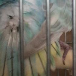 セキセイインコ  雛換羽の羽根の色