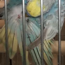 セキセイインコ  雛換羽の羽根の色サムネイル