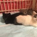 かわいい3匹兄妹 グレー、白グレー、黒