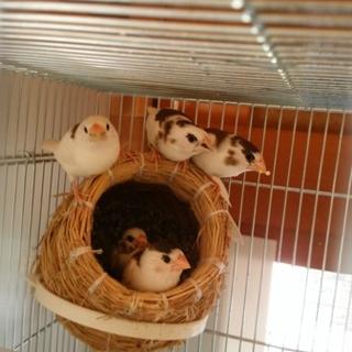 十姉妹の幼鳥、里親募集