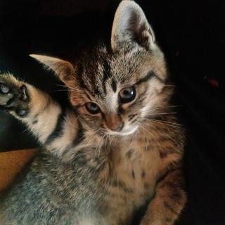 マンチカン雑種の子猫の里親さん募集
