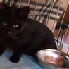 むくむく・あまあま黒猫男の子・生後約6ヶ月 サムネイル3