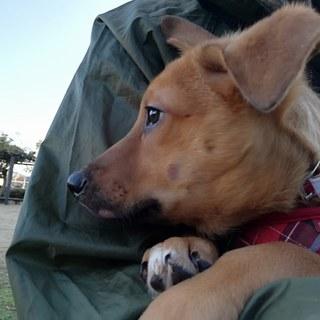 野犬の子  8ヶ月 ミーナ ♀ お留守番可