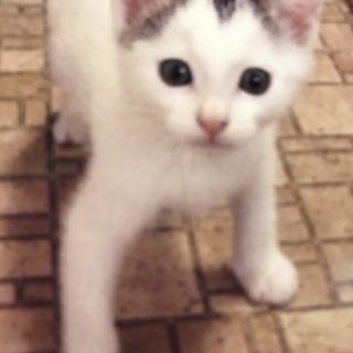 募集停止  白キジマロ眉のベタ甘子猫