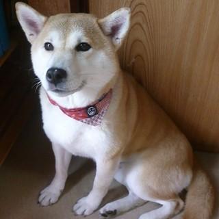 おっとりした穏やかな性格・美柴犬5歳♀・外飼い不可