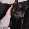9月生まれ 黒猫 子猫 離乳済み ♂