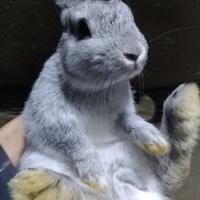 ネザーランドドワーフの子ウサギ