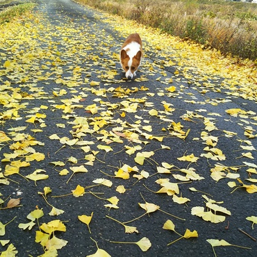 銀杏の葉っぱの絨毯の上で…