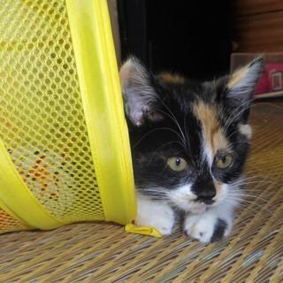 サビ猫のガウンをまとった洒落たミケちゃん