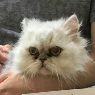 チンチラ子猫 オス 半年