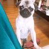 子犬のパグちゃん サムネイル2