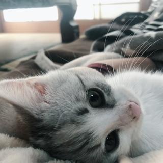里親さん募集☆縞三毛の子猫です!