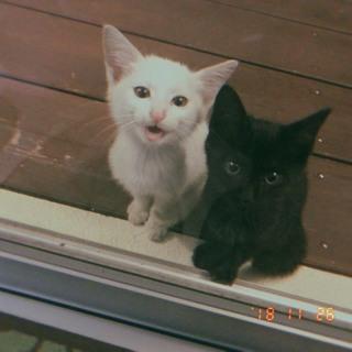 2・3ヶ月の黒猫白猫