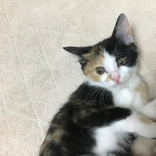 三毛猫シスターズのミィちゃん